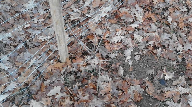 Keřík po vysazení mulc z listí