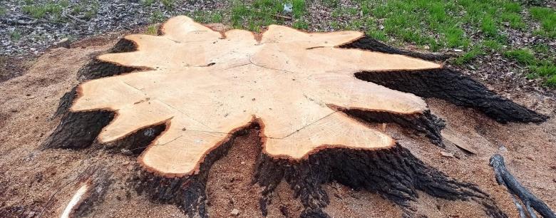 Obří dub u Krnova pokácen